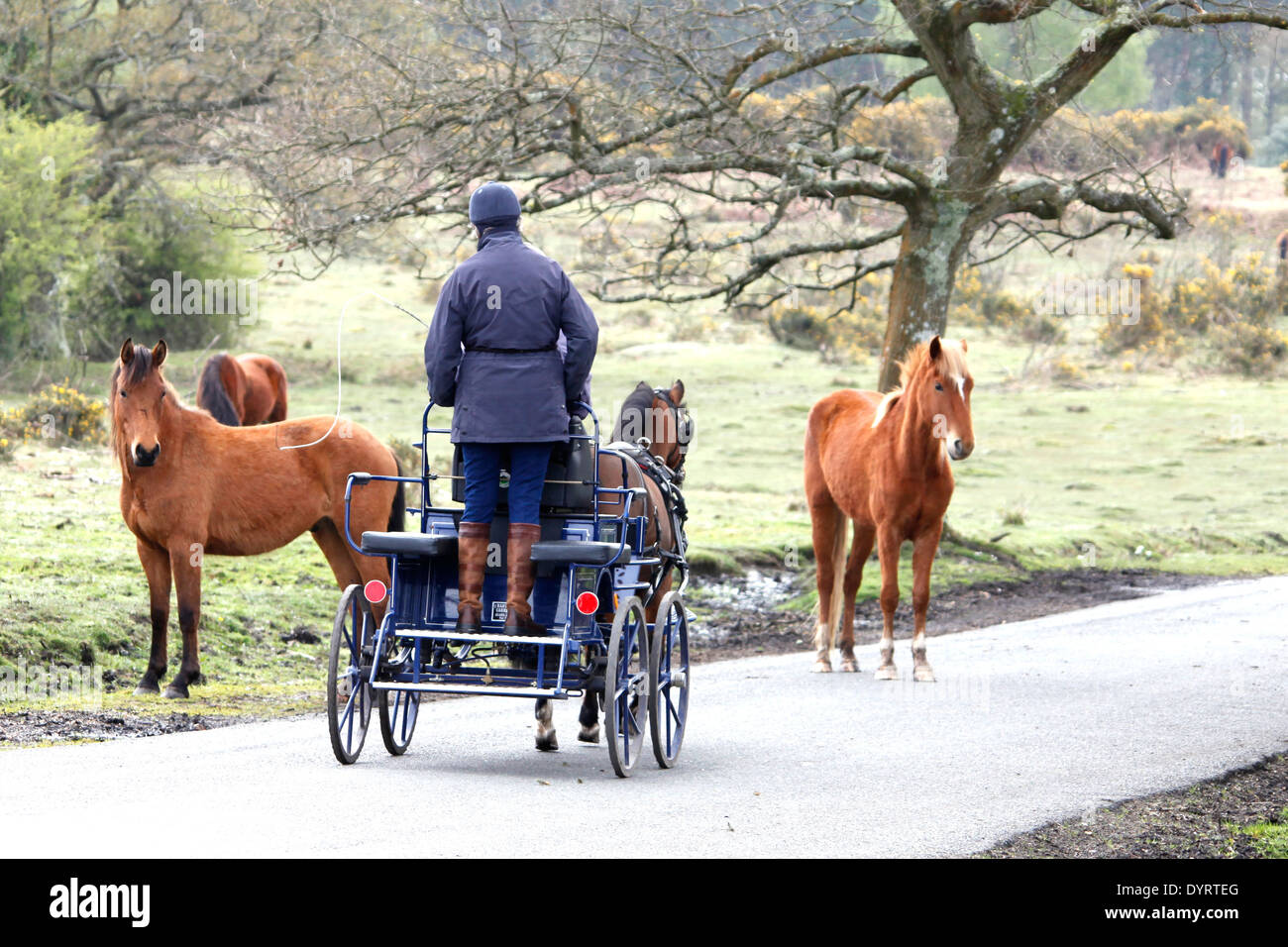 A pony & trap are help up on a country lane by a small group of wild ponies. - Stock Image