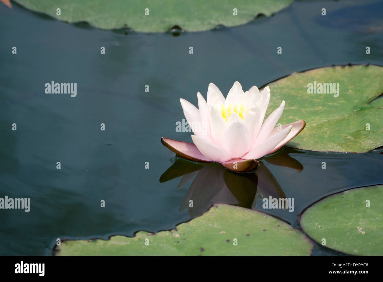 Beautiful White Lotus In Japanese Pond With Focus On Flower Stock