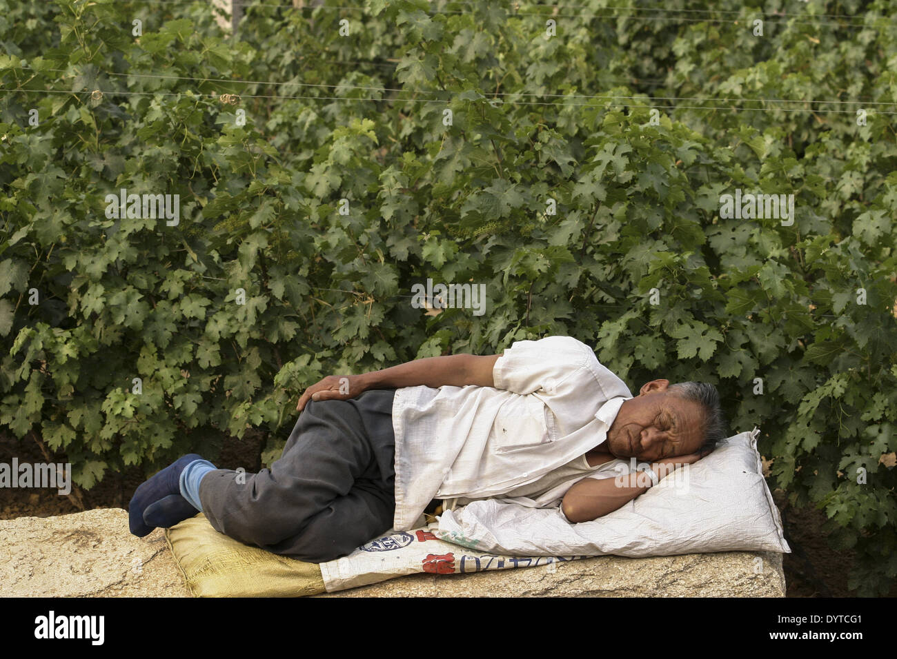 A worker take a nap in a vineyard of Huaxia Winery Company Ltd - Stock Image