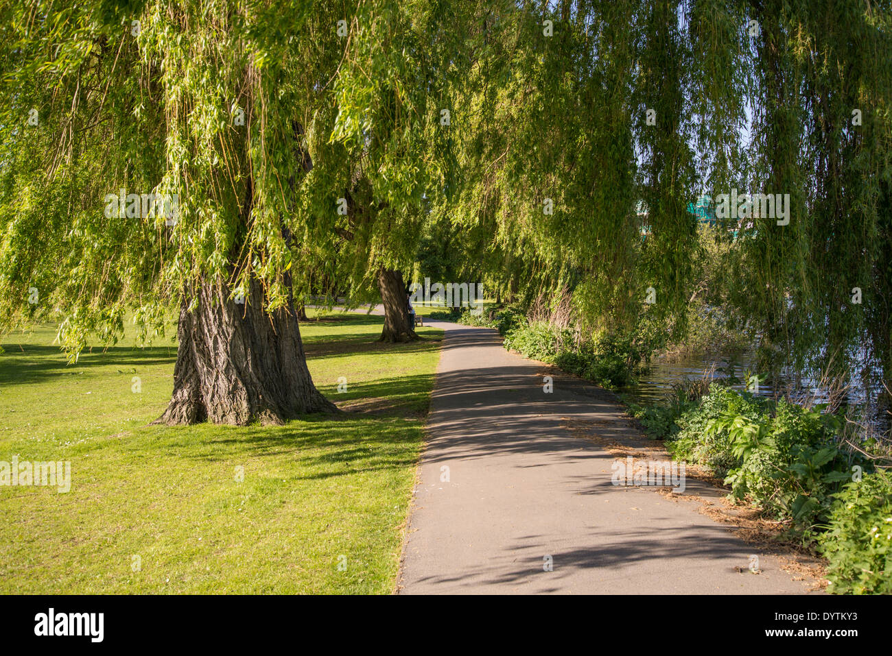 Radnor Gardens Weeping Willows, Strawberry Hill, Borough of Richmond, London, UK - Stock Image