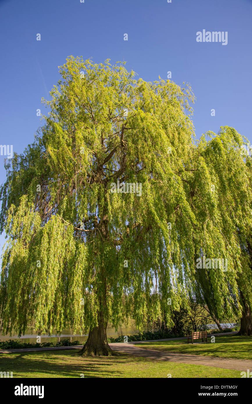 Radnor Gardens Weeping Willow tree, Strawberry Hill, Borough of Richmond, London, UK - Stock Image