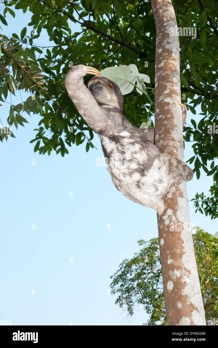 Brown-throated three-toed sloth (Bradypus variegatus) photographed in the Amazon basin near Manaus, Brazil. Stock Photo