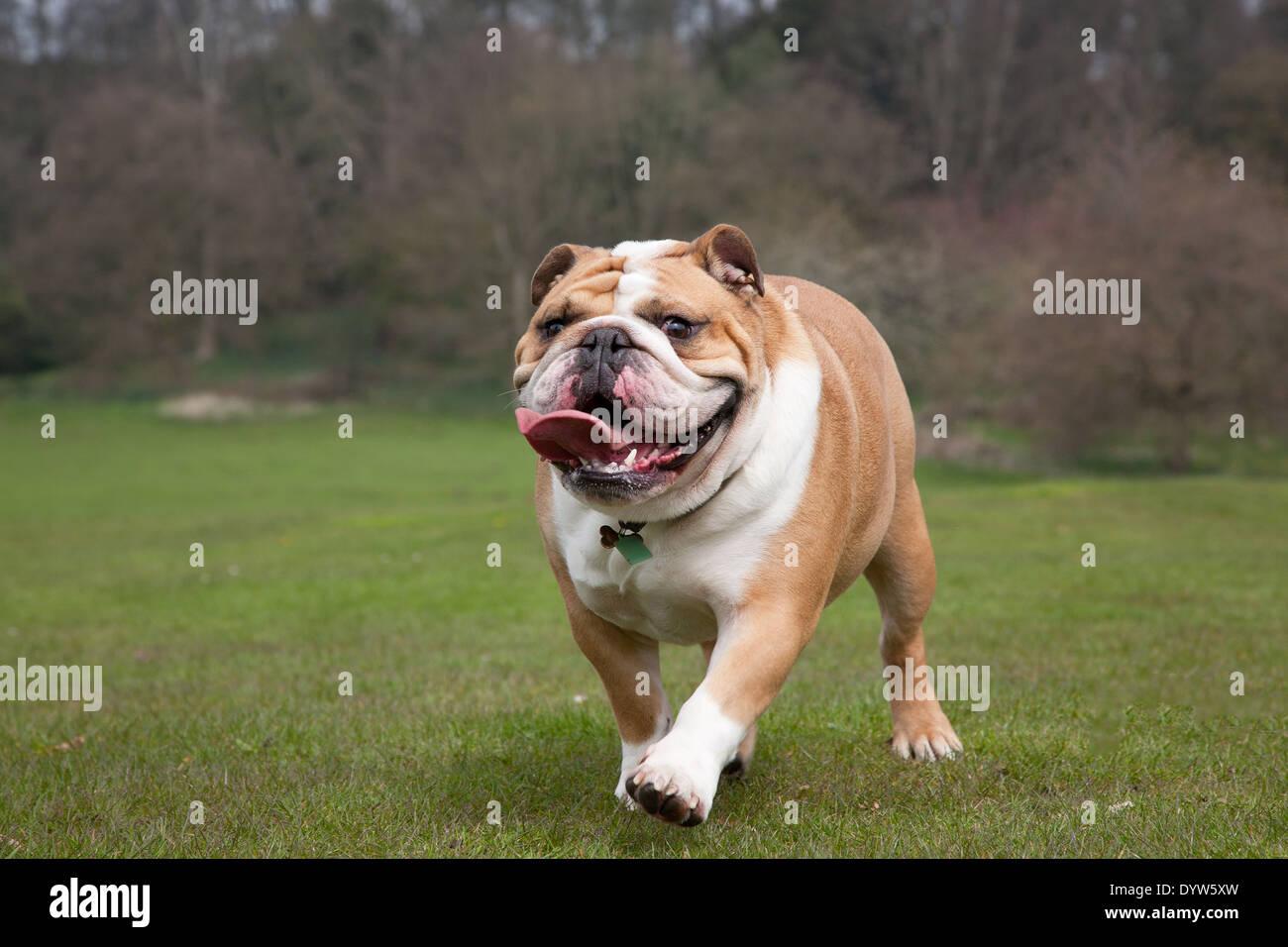 British Bulldog running - Stock Image
