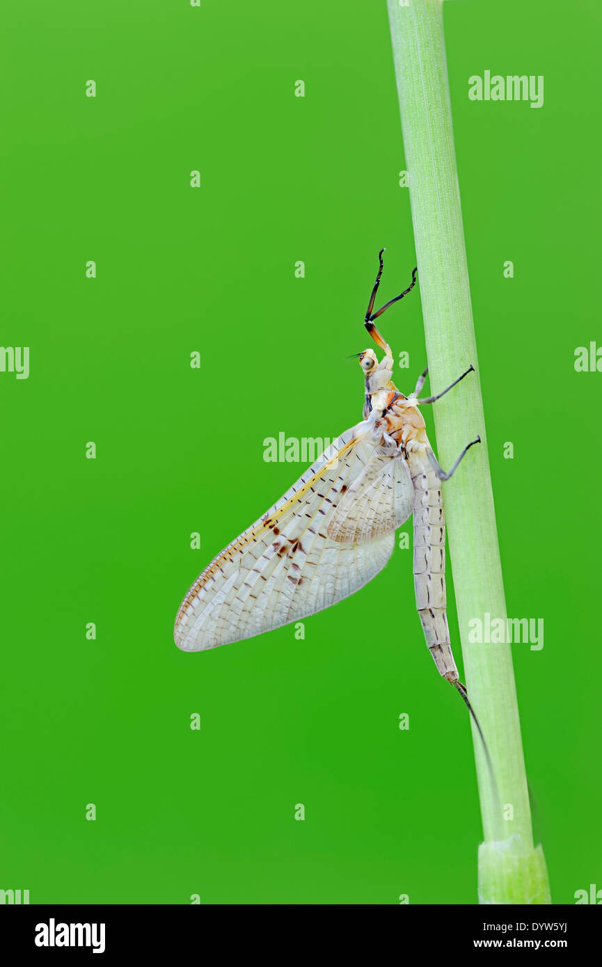 Green Drake Mayfly (Ephemera danica), North Rhine-Westphalia, Germany - Stock Image