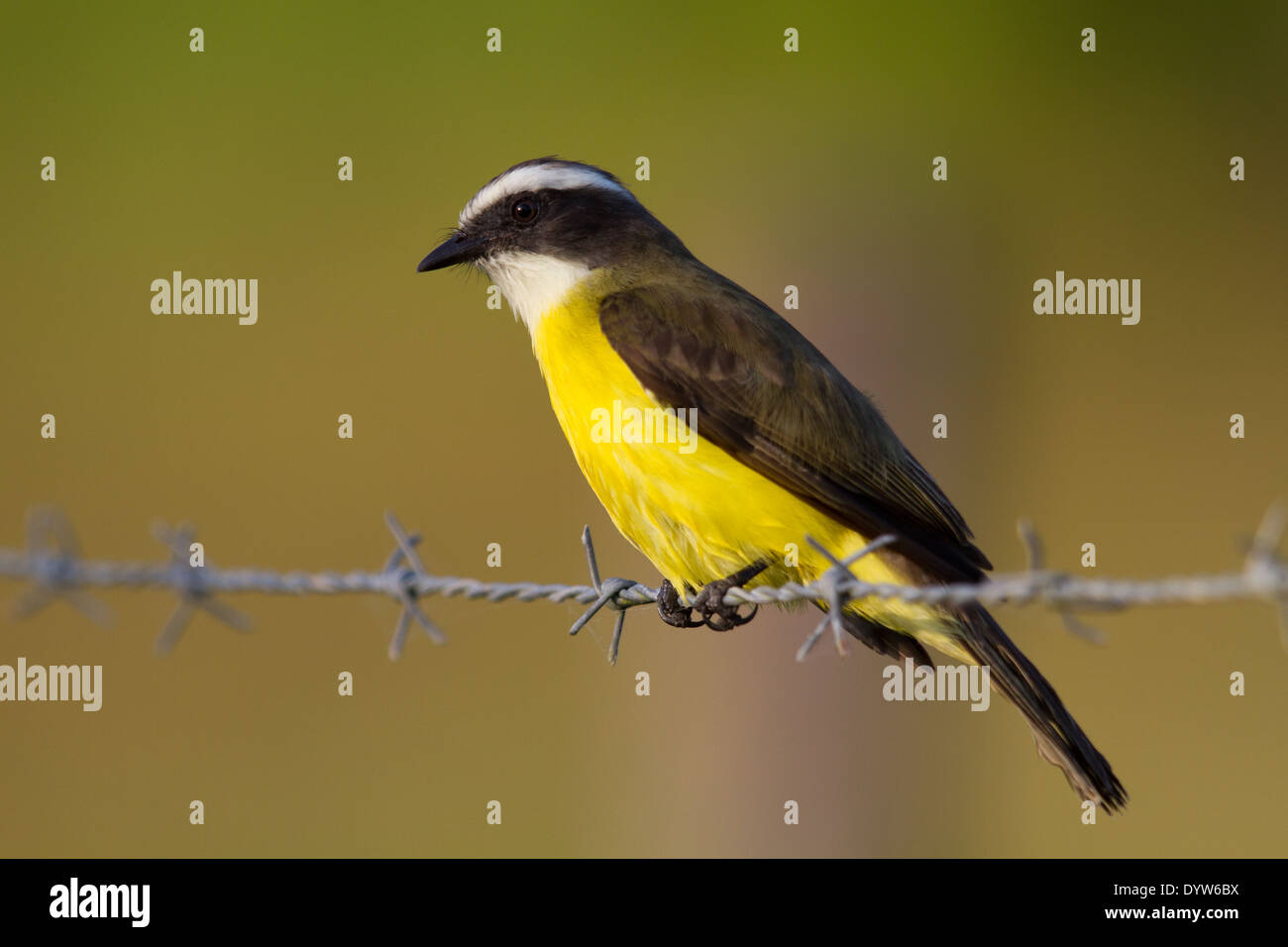 Social Flycatcher (Myiozetetes similis) perched on a barbed wire fence - Stock Image