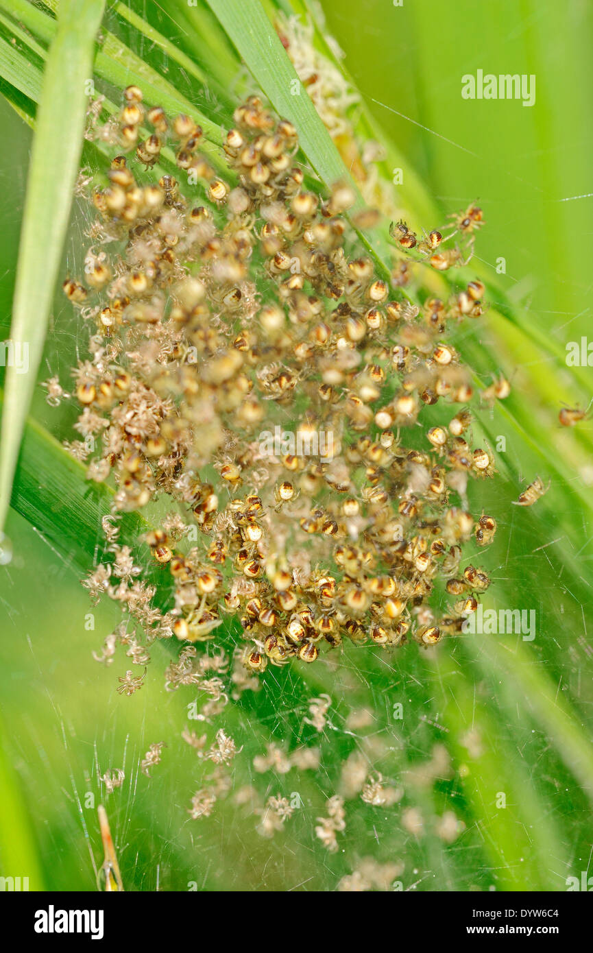 Four Spot Orb Weaver or Fourspotted Orbweaver (Araneus quadratus), youngs in web, North Rhine-Westphalia, Germany - Stock Image