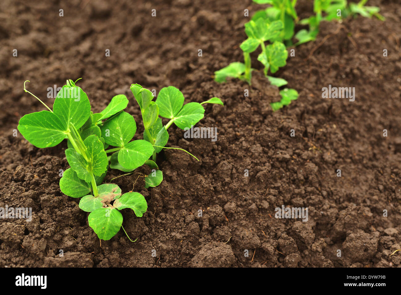 Pea Plant Growing Stock Photos & Pea Plant Growing Stock Images - Alamy