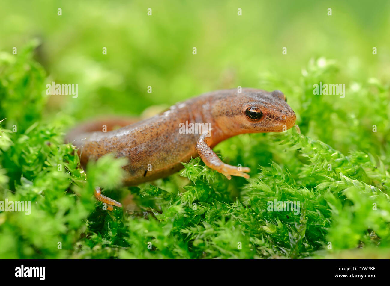 Smooth Newt or Common Newt (Lissotriton vulgaris, Triturus vulgaris), female, North Rhine-Westphalia, Germany - Stock Image