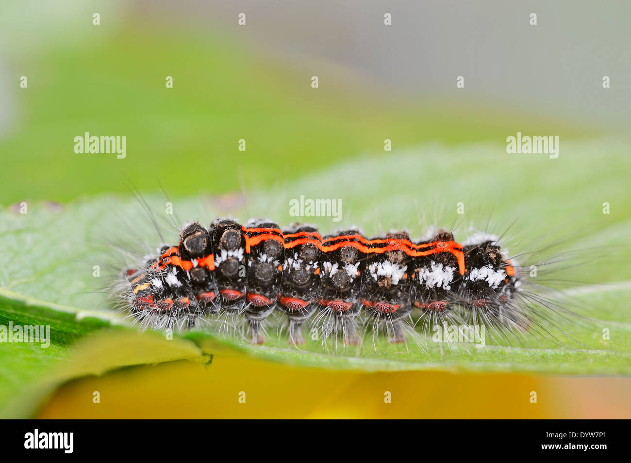 Yellow-tail Moth, Goldtail Moth or Swan Moth (Euproctis similis), caterpillar, North Rhine-Westphalia, Germany - Stock Image