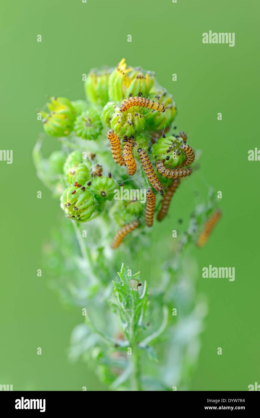 Cinnabar Moth (Tyria jacobaeae), caterpillars on Tansy Ragwort (Senecio jacobaea, Jacobaea vulgaris) - Stock Image