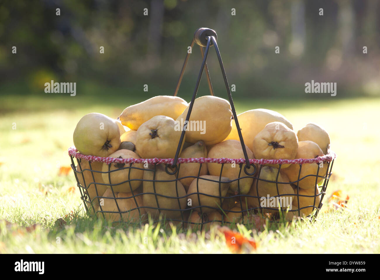 Quince fruit in a basket, Cydonia oblonga Stock Photo