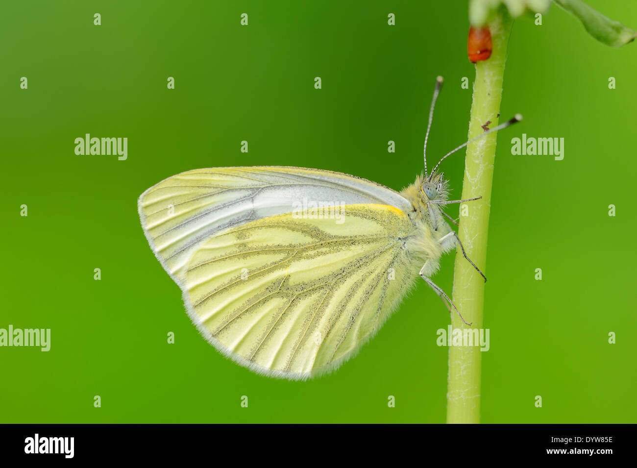 Green-veined White (Pieris napi), North Rhine-Westphalia, Germany - Stock Image
