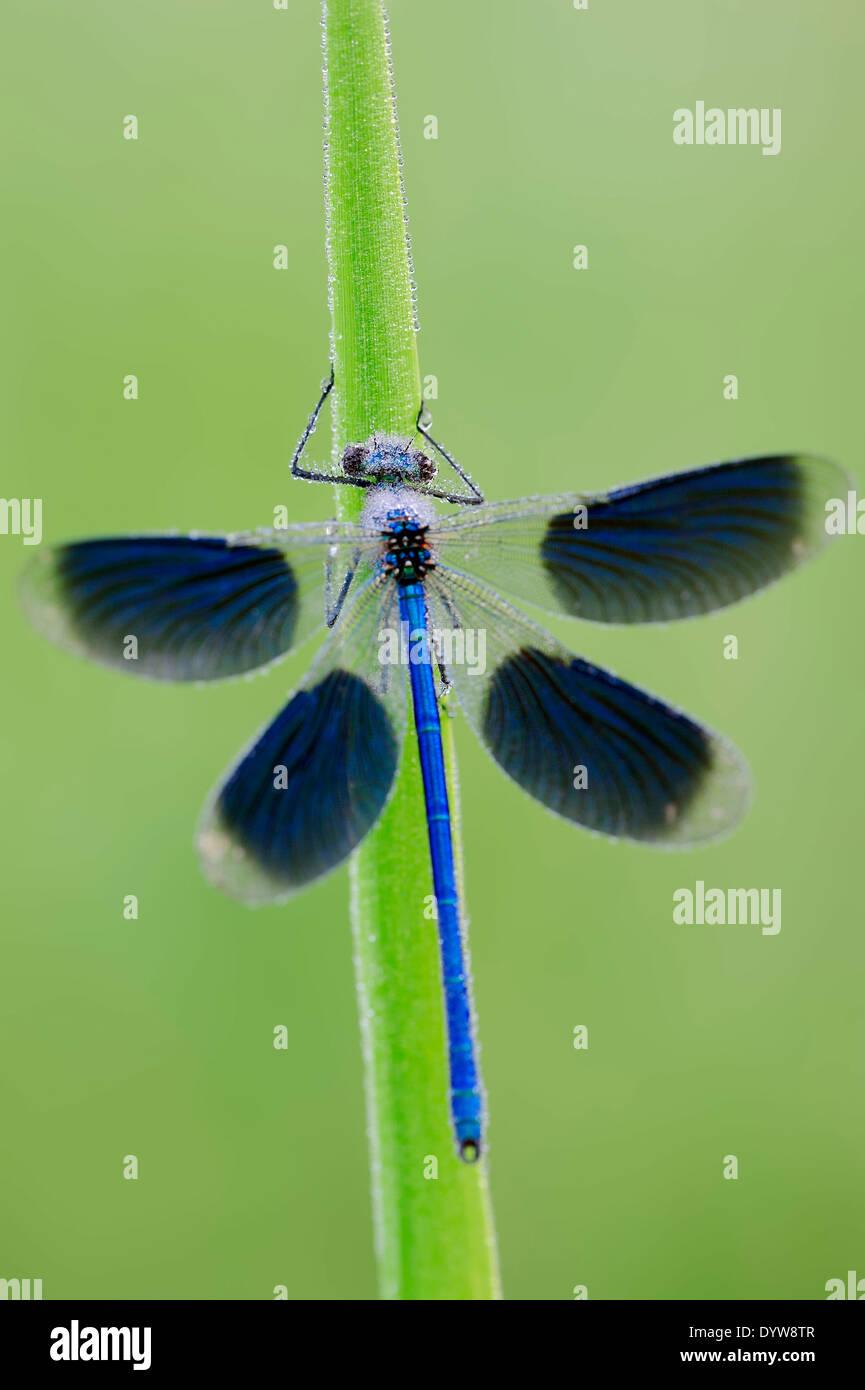 Banded Demoiselle (Calopteryx splendens, Agrion splendens), male, North Rhine-Westphalia, Germany Stock Photo