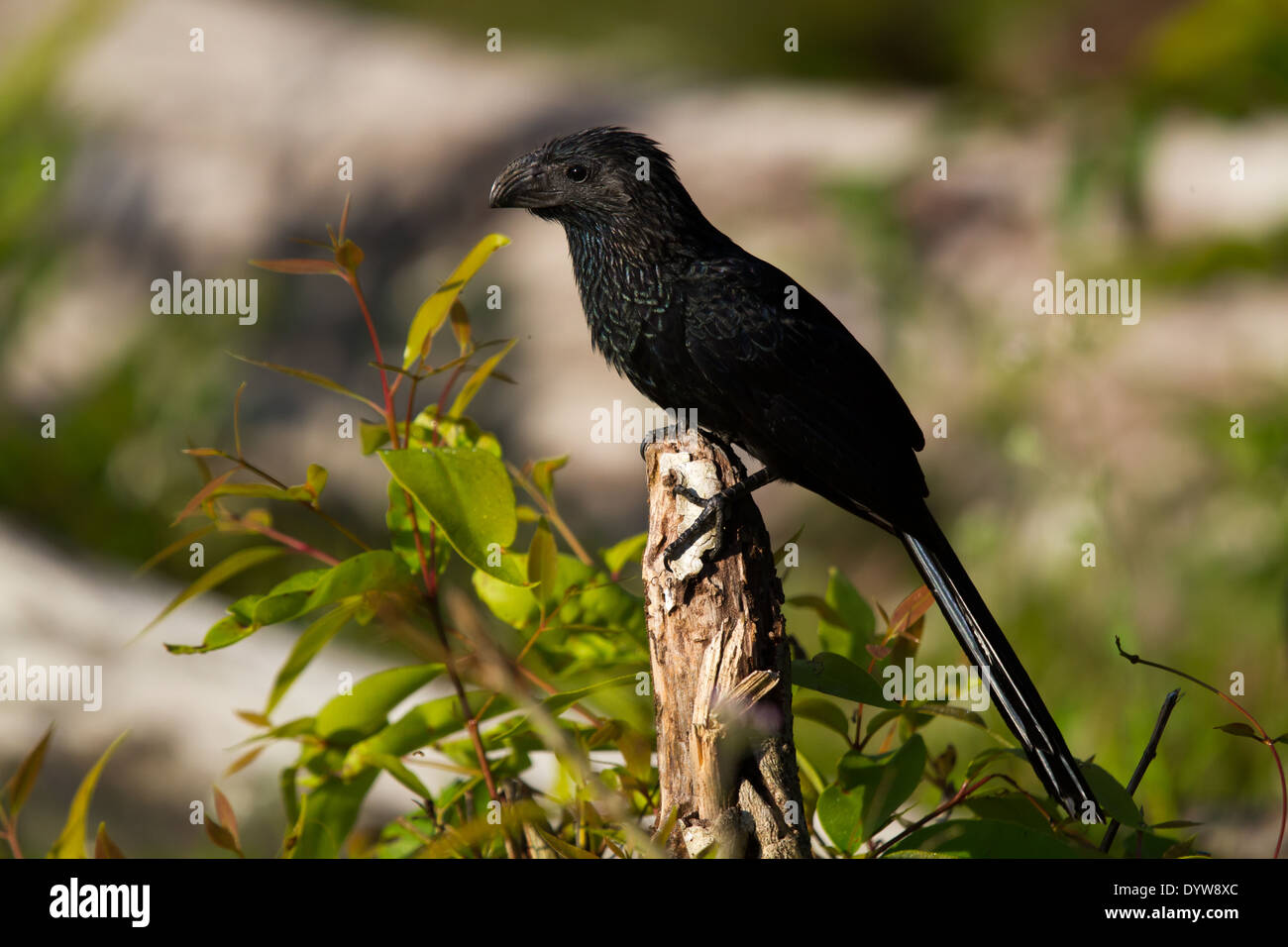 Groove-billed Ani (Crotophaga sulcirostris) - Stock Image