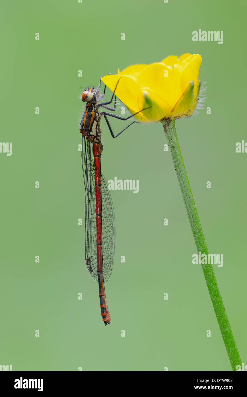Large Red Damselfly or Large Red Damsel (Pyrrhosoma nymphula) on buttercup, North Rhine-Westphalia, Germany - Stock Image