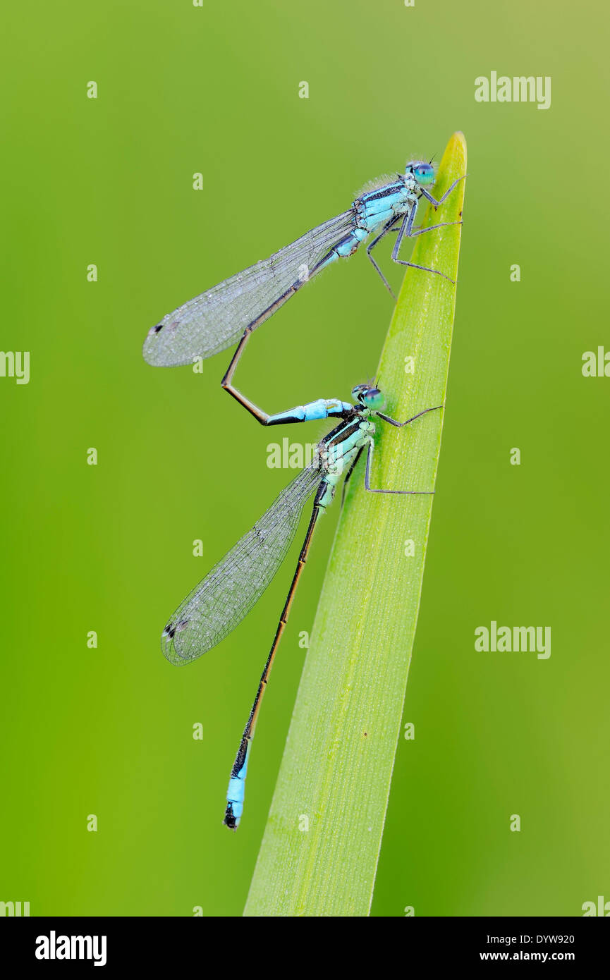 Blue-tailed Damselflies, Common Ischnura or Common Bluetail (Ischnura elegans), males - Stock Image