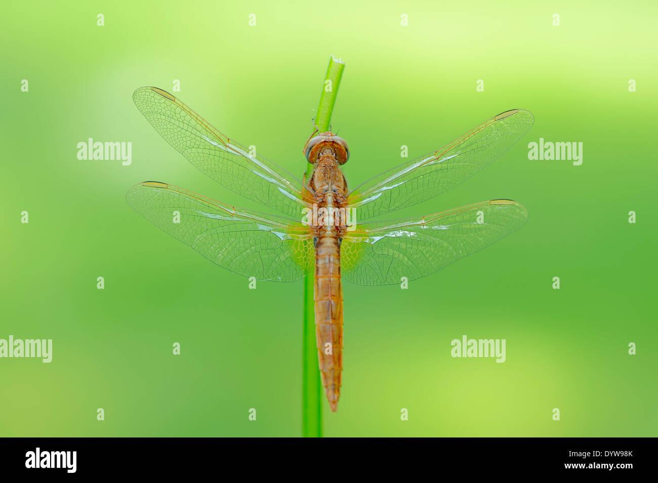 Scarlet Dragonfly, Scarlet Darter, Broad Scarlet or Red Dragonfly (Crocothemis erythraea), juvenile, male Stock Photo