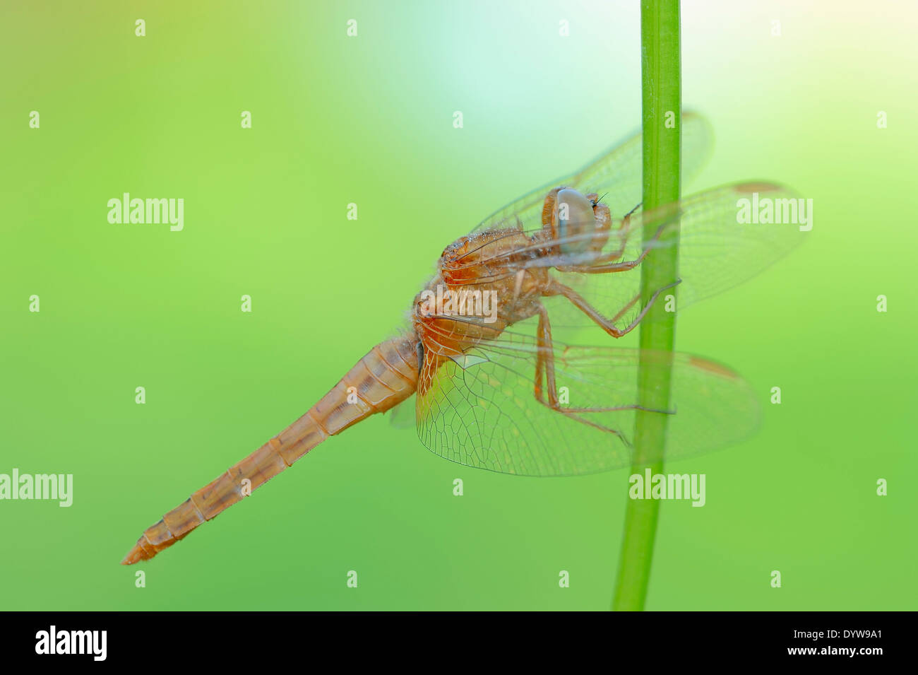 Scarlet Dragonfly, Scarlet Darter, Broad Scarlet or Red Dragonfly (Crocothemis erythraea), juvenile, male Stock Photo