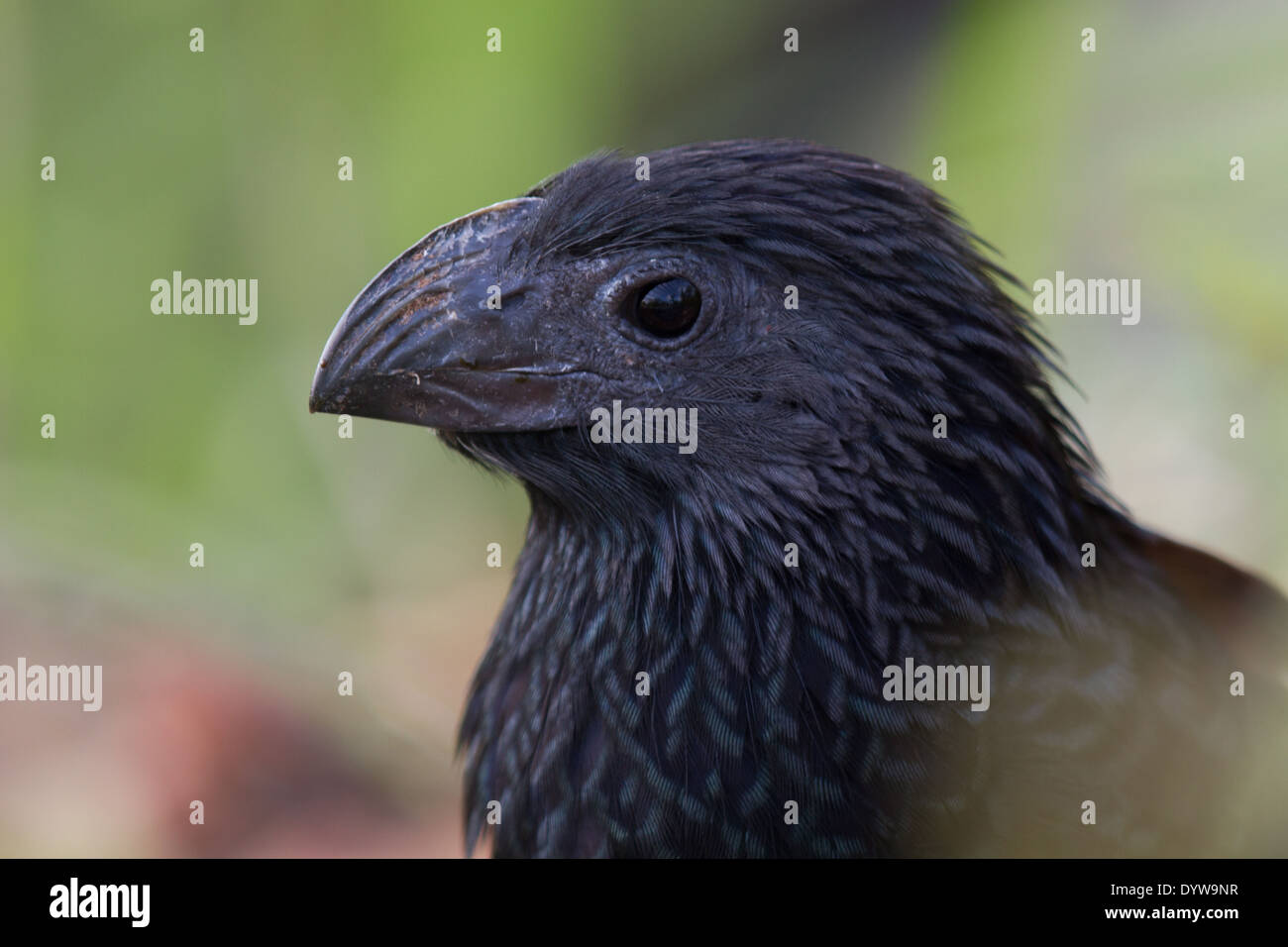 Groove-billed Ani (Crotophaga sulcirostris) head - Stock Image