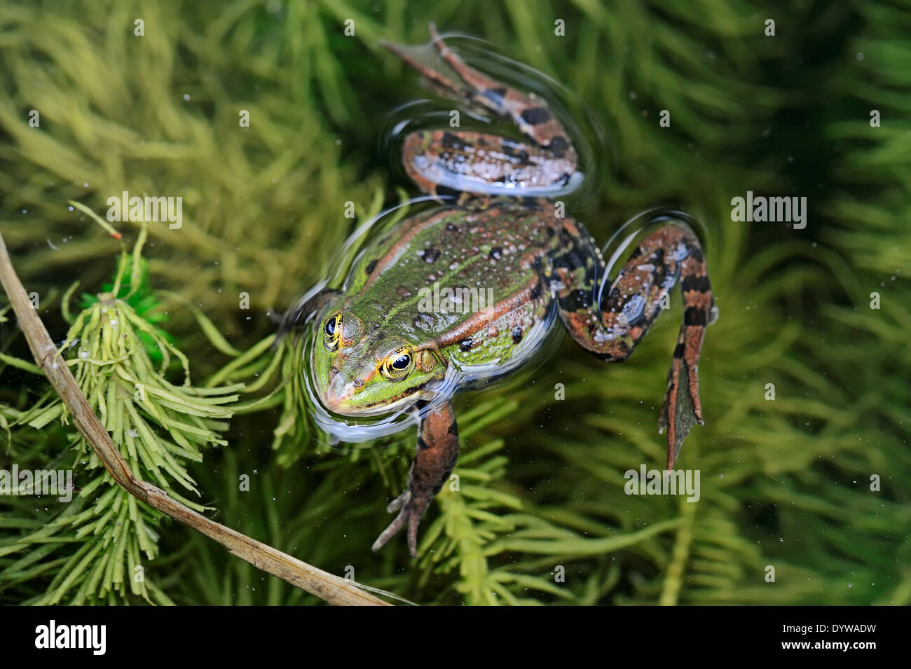 Edible Frog, Common Water Frog or Green Frog (Rana esculenta, Pelophylax kl. esculentus), male, North Rhine-Westphalia, Germany - Stock Image