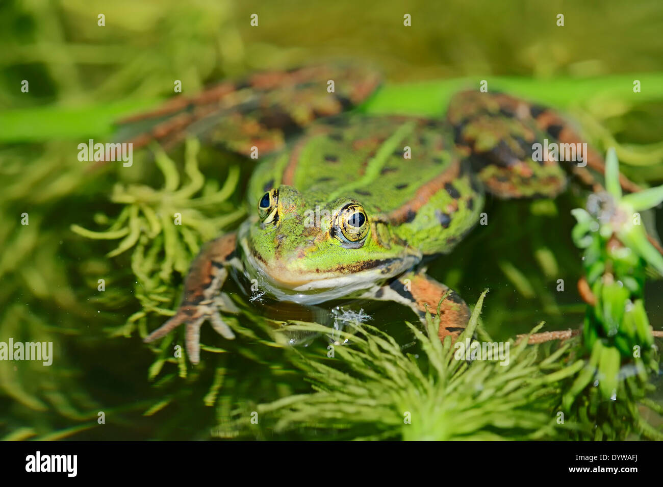 Edible Frog, Common Water Frog or Green Frog (Rana esculenta, Pelophylax kl. esculentus), male, North Rhine-Westphalia, Germany - Stock Image