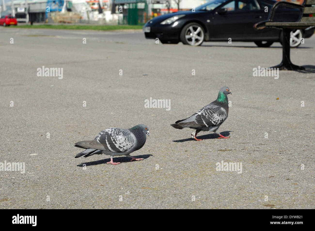 Male pigeon trying to impress female pigeon in carpark - Stock Image