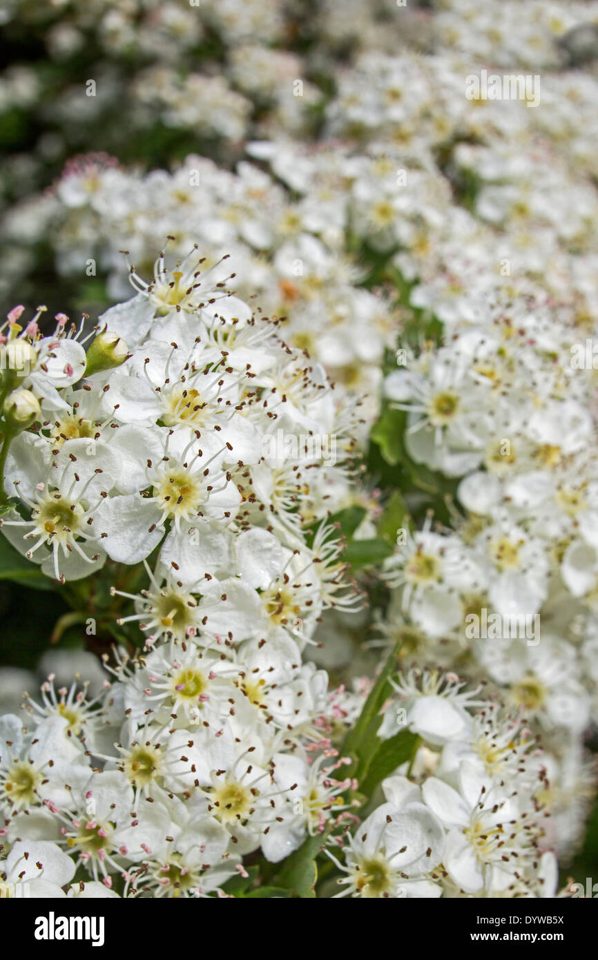 Hawthorn (Crataegus) in flower showing white blossoms in spring - Stock Image