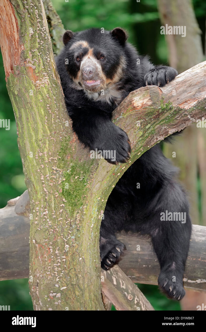 Spectacled Bear or Andean Bear (Tremarctos ornatus) Stock Photo