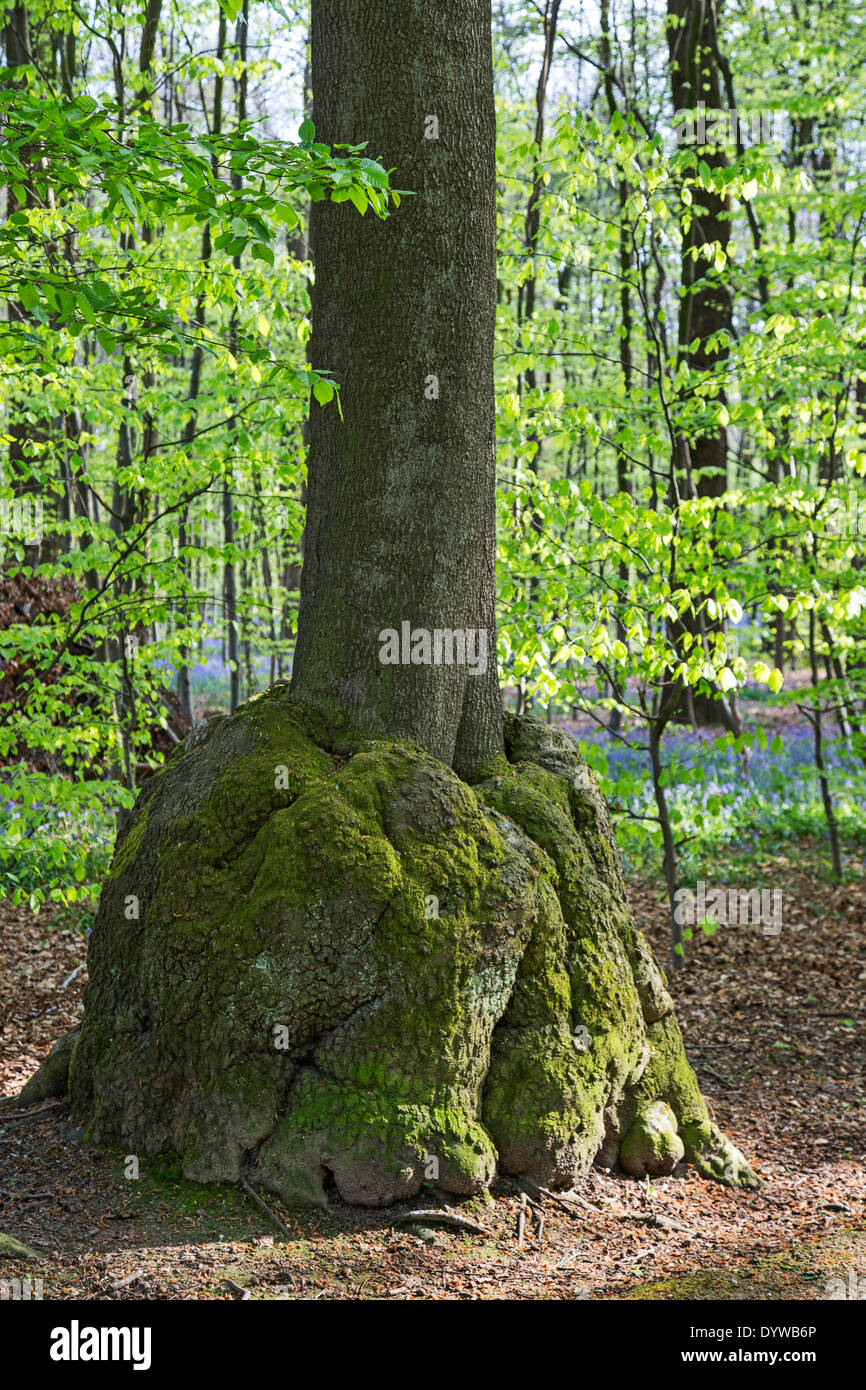 Burl / burr / bur, rounded outgrowth on beech (Fagus sylvatica) tree trunk in forest - Stock Image
