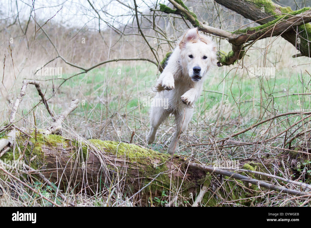 Golden Retriever jumping Leaping in a wood - Stock Image