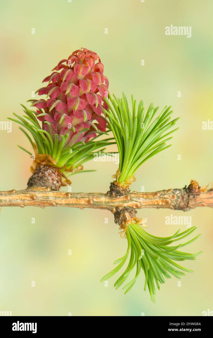 Larch flower - Stock Image