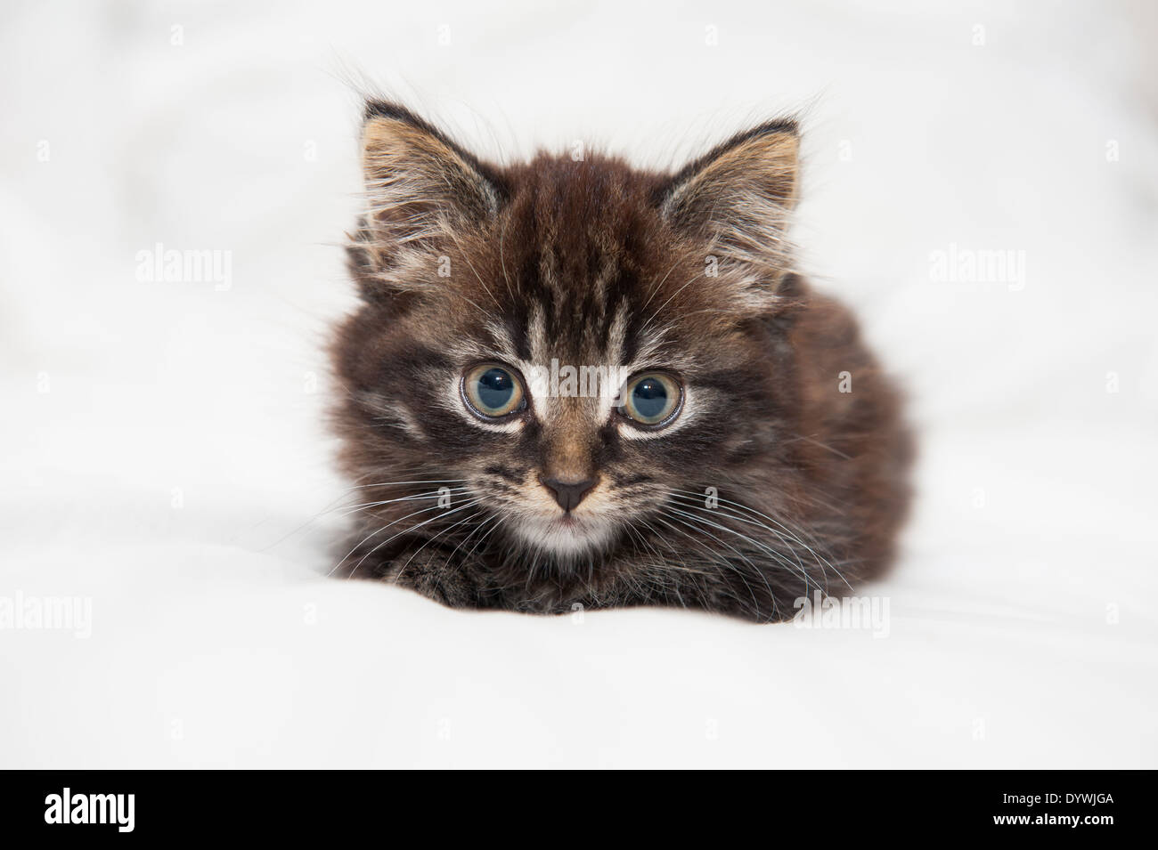 fluffy brown tabby kitten on stock photos fluffy brown tabby