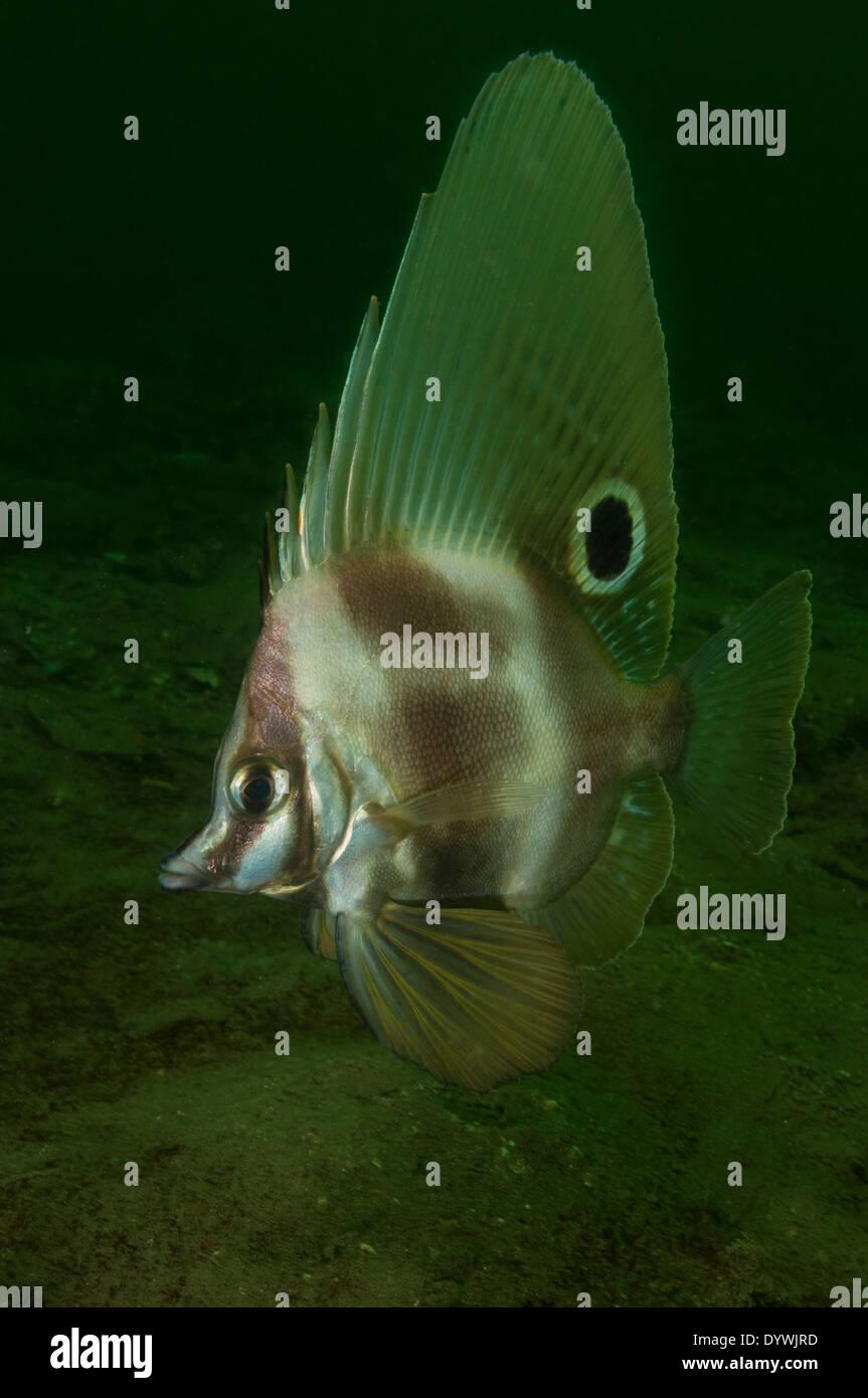 Short Boarfish. Stock Photo