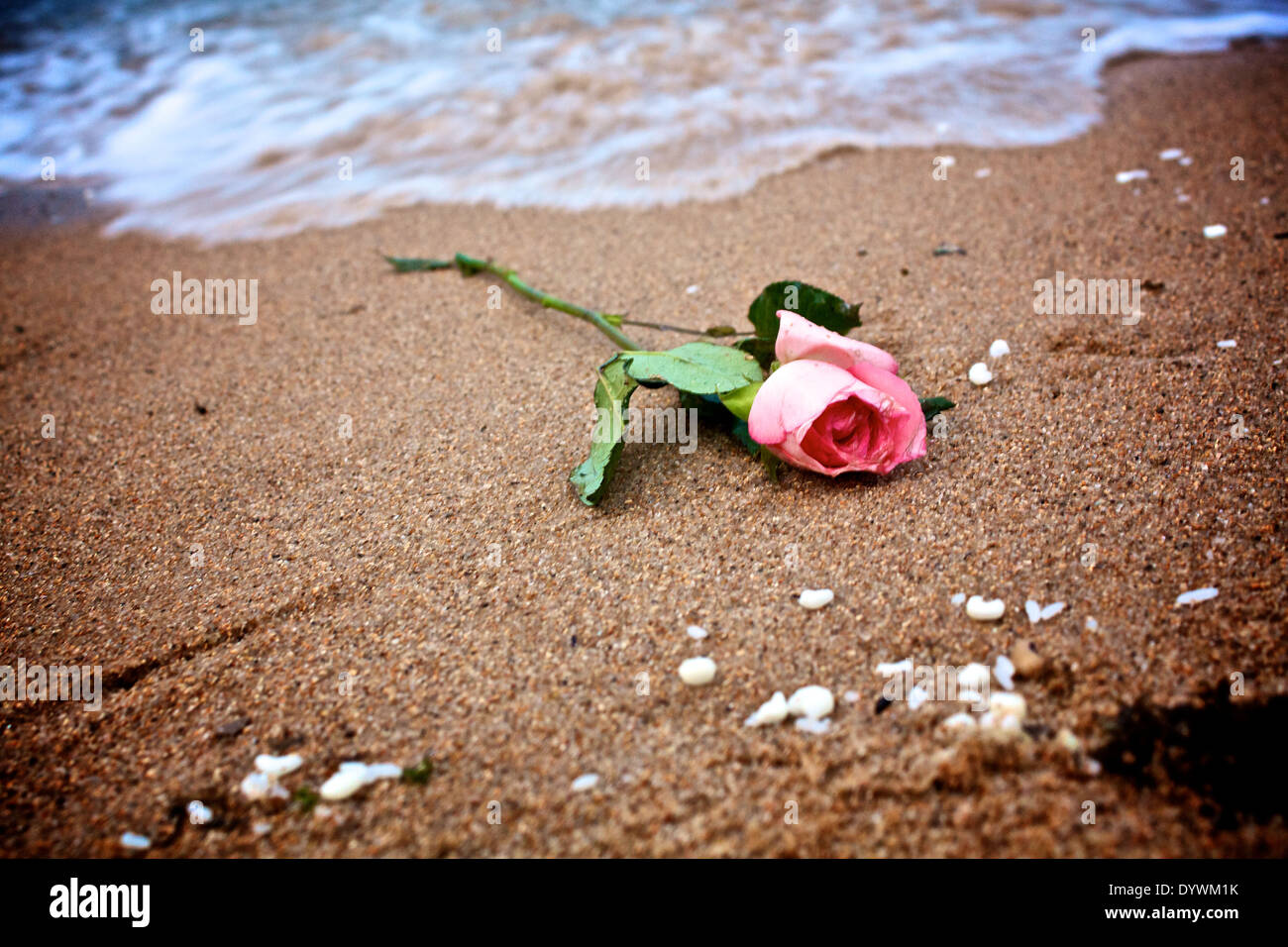 A rose like a gift to folk party of Yemanja. Salvador, Bahia, Brazil - Stock Image