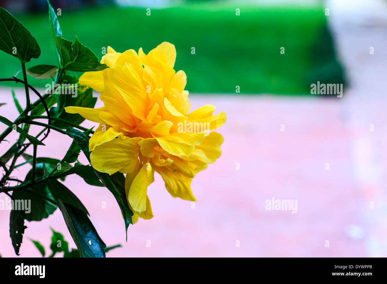 Terry Yellow Hibiscus On Tree In The Garden Stock Photo 68793491