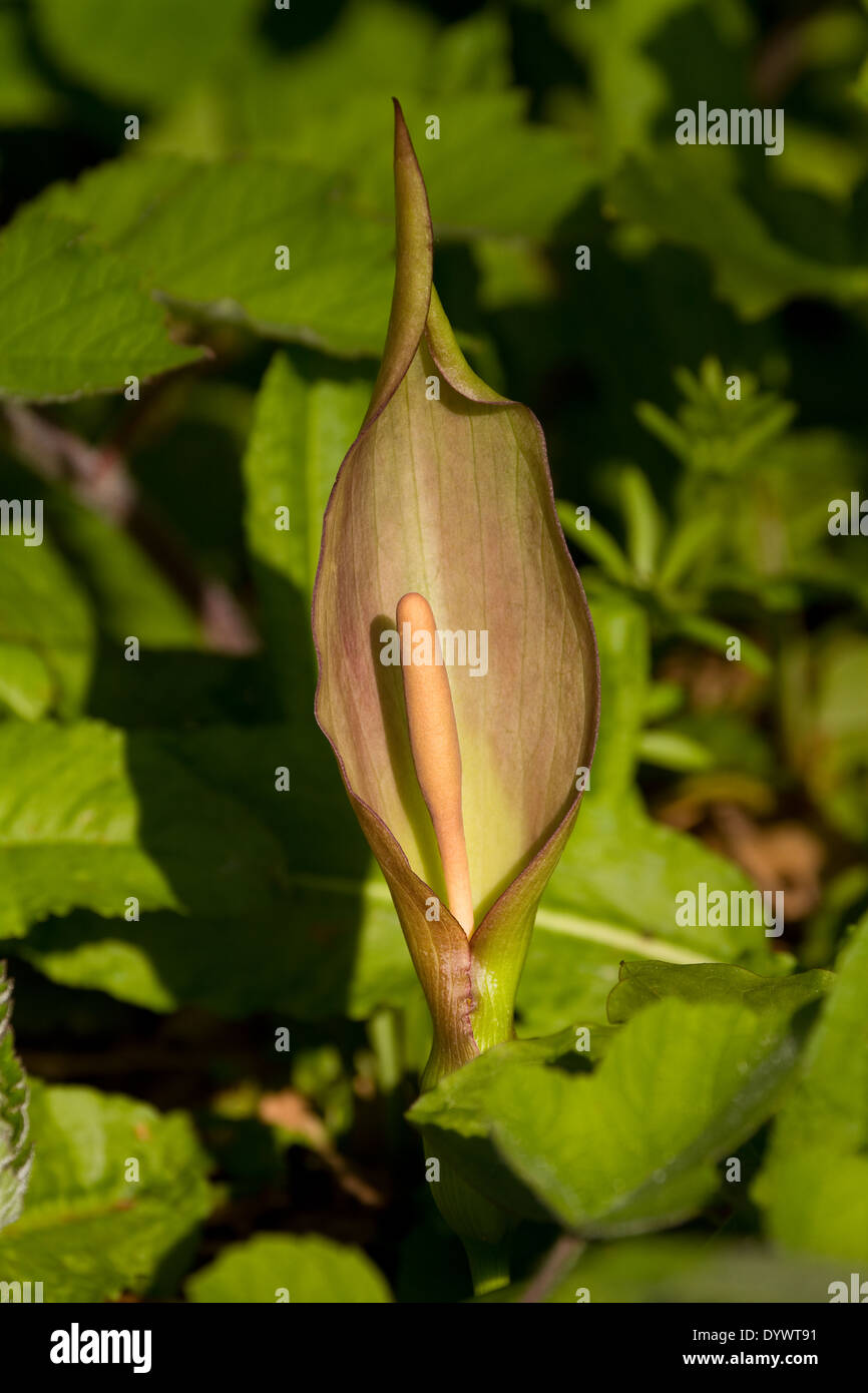 arum in flower. UK - Stock Image