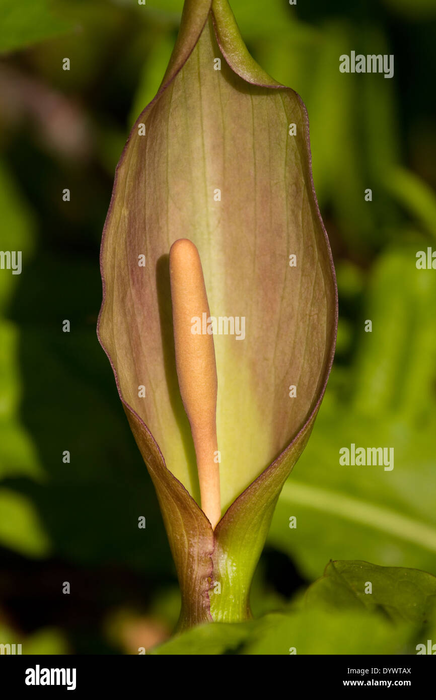 CLoseup of Arum flower. Uk - Stock Image