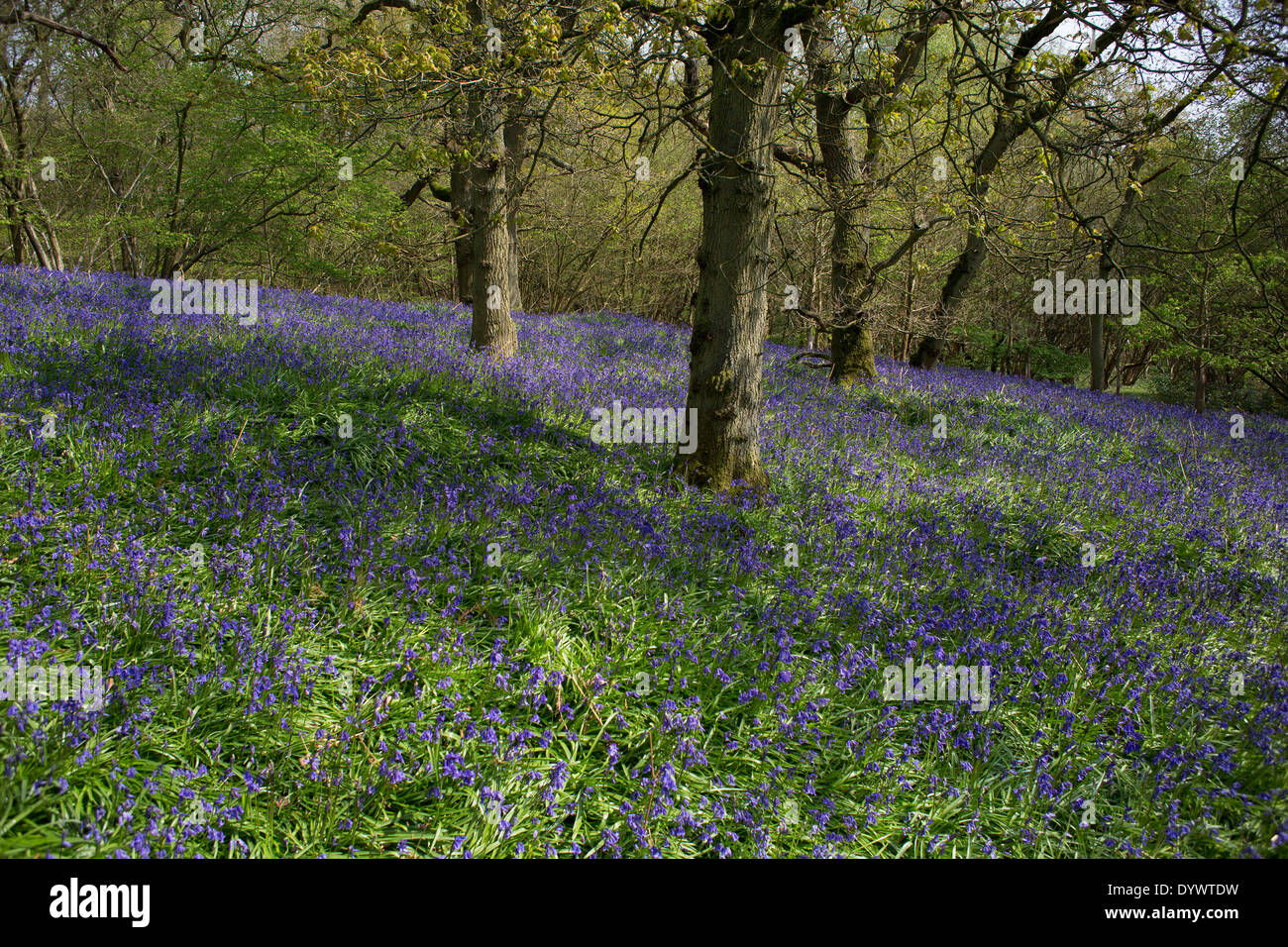 Bluebells in woods in surrey these spring flowers cover the these spring flowers cover the woodland floor annually mightylinksfo