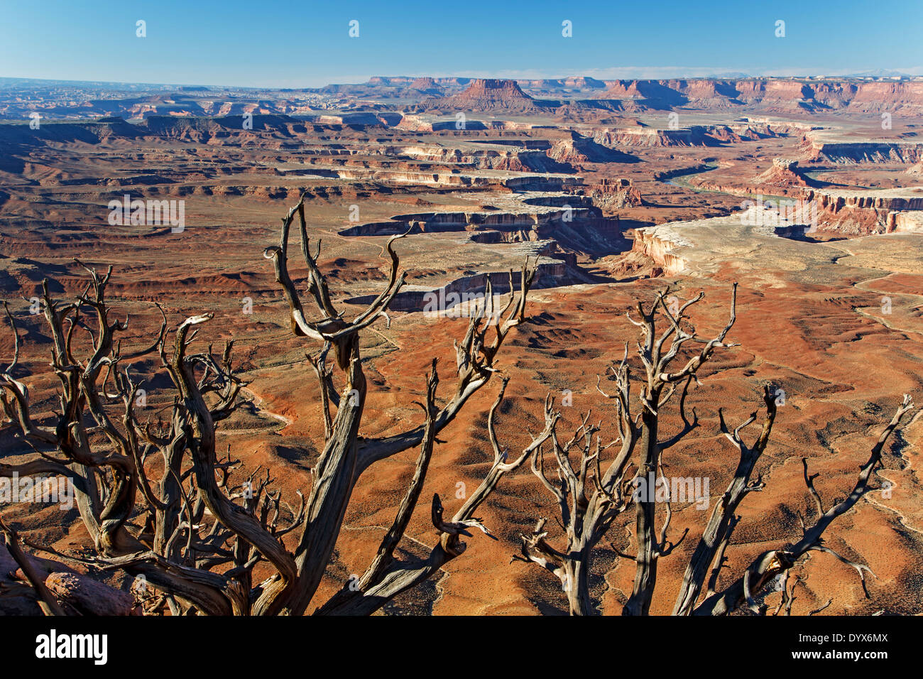 Bare tree, buttes, canyons and mesas from Green River Overlook, Islands in the Sky District, Canyonlands National Stock Photo