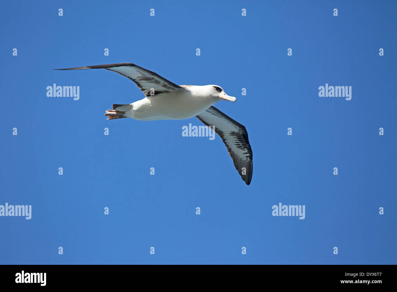 Laysan Albatross (Phoebastria immutabilis) soaring over Kīlauea Point National Wildlife Refuge Stock Photo