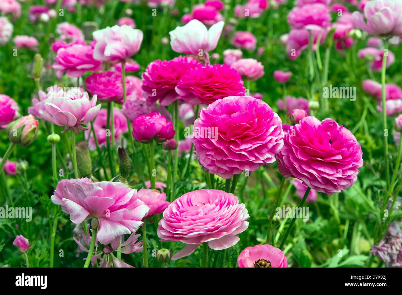 Flower Fields Carlsbad California Usa Stock Photos & Flower Fields ...