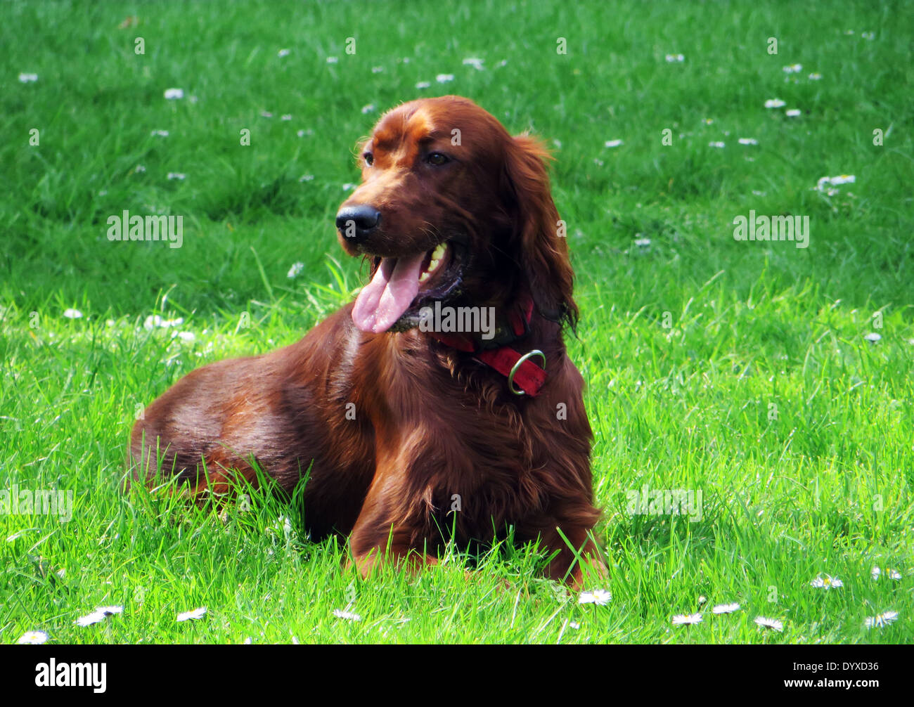 A Irish Setter dog relaxing at garden in Amsterdam Stock Photo