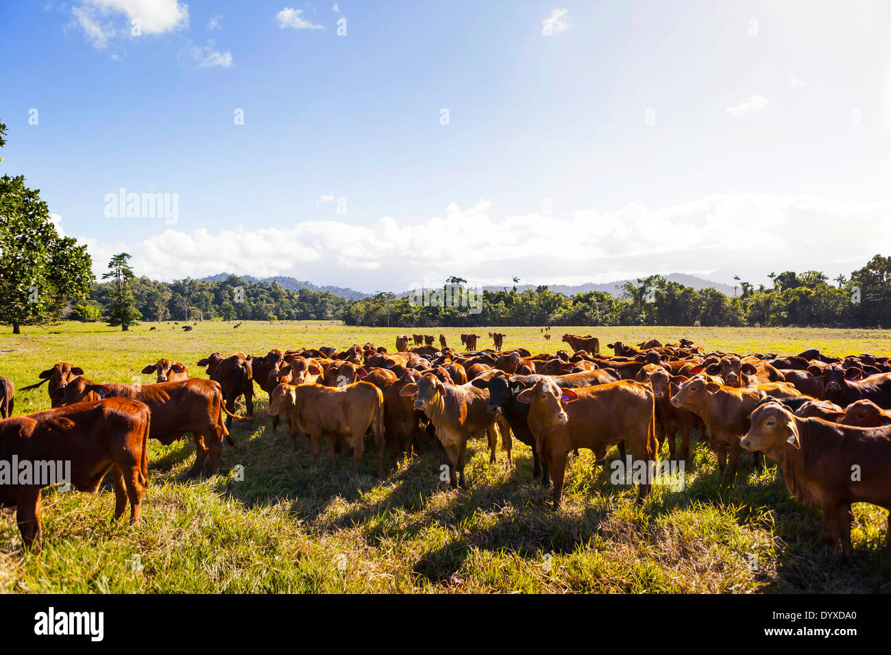 Limousin cattle, Cairns QLD Australia Stock Photo