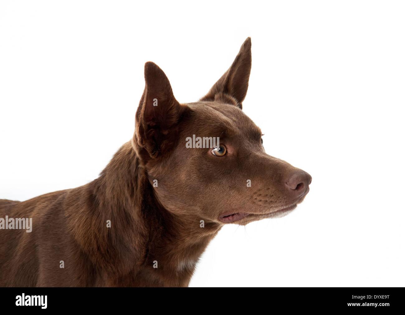 Australian Kelpie - Stock Image