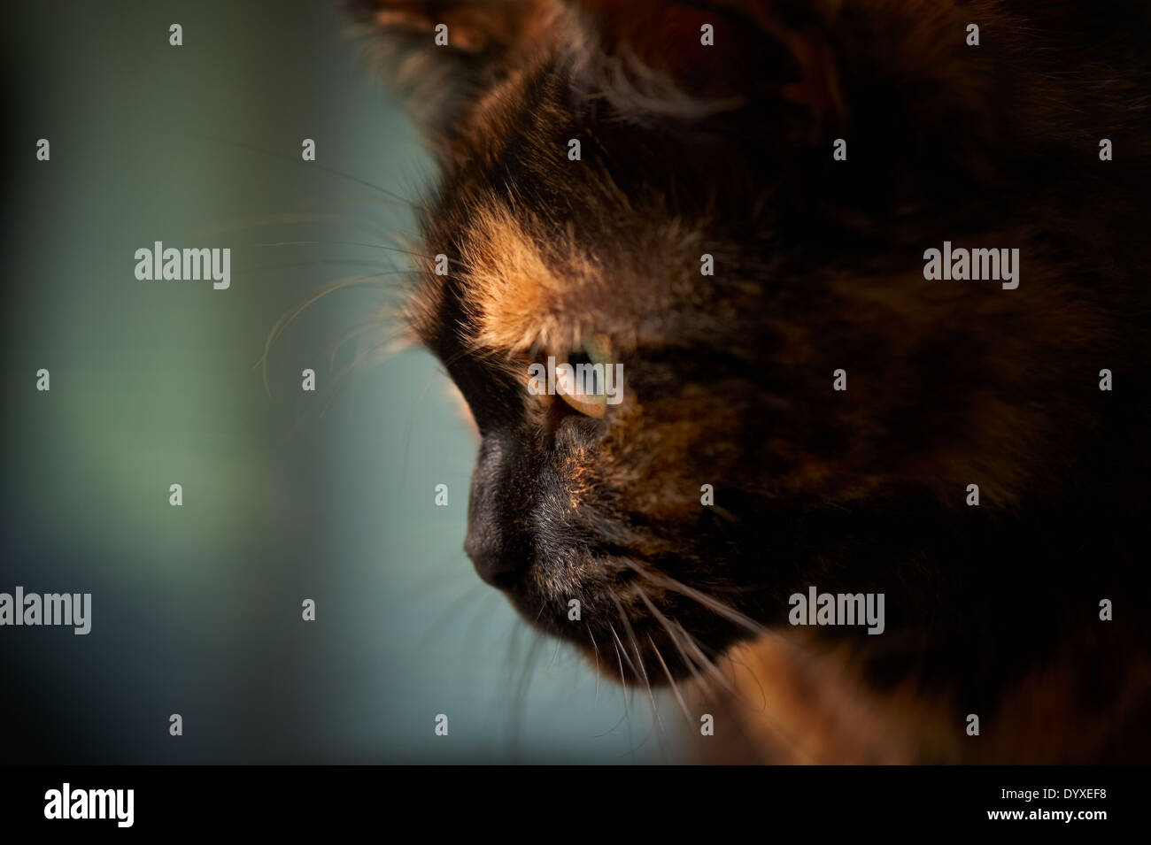 Close-up of tortoiseshell cat, Australia Stock Photo