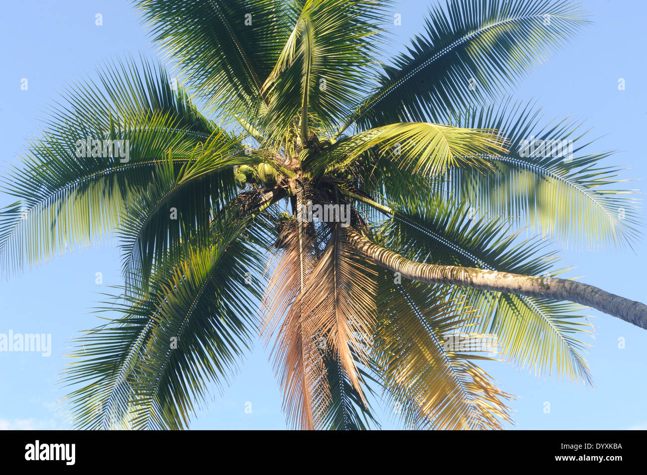 Coconut palm (Cocos nucifera) on th edge of the tropical rainforest on the Osa Peninsula. Drake Bay, Corcovado National Park - Stock Image