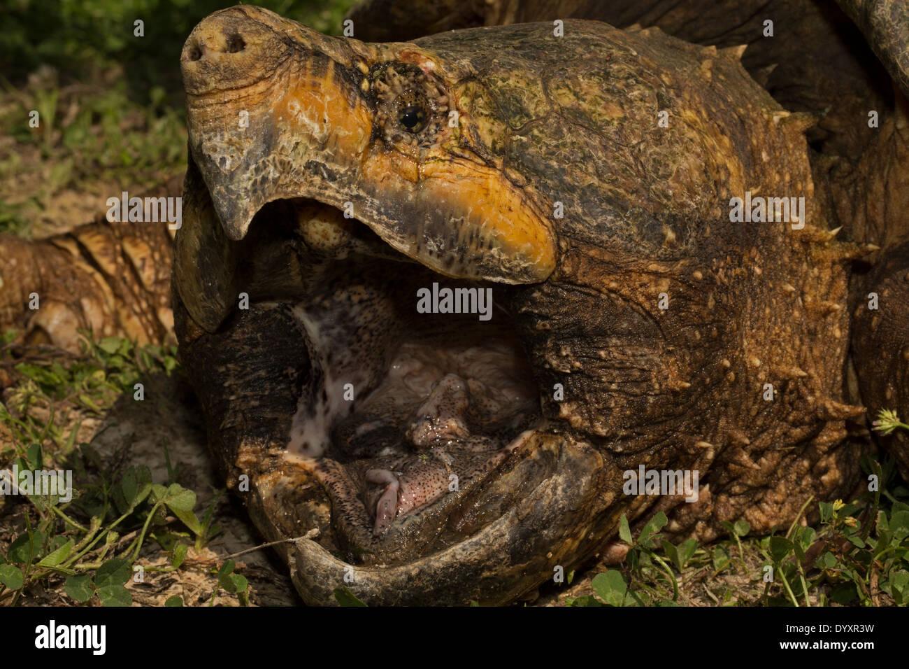 Alligator snapping turtle (Macrochelys temminckii) is the ...  Alligator snapp...