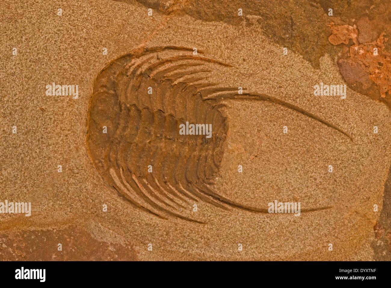 Trilobite, fossil of extinct marine invertebrate - Stock Image