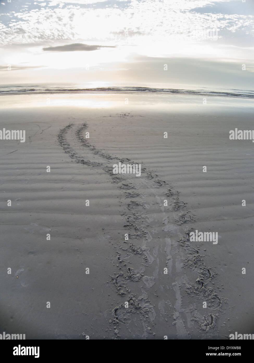 Nesting turtle tracks leading back to ocean at sunrise - Stock Image