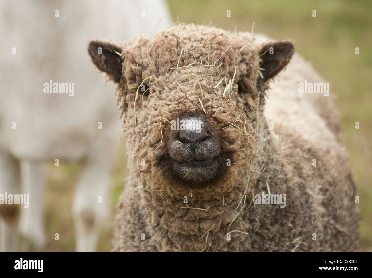 Miniature Baby Doll sheep with straw on face - Stock Image